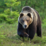 Végleg visszatértek a szabadon élő medvék Magyarországra